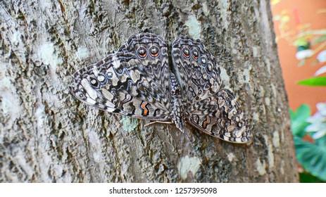 Caribbean Cracker butterfly. Hamadryas amphichloe diasia having a rest on a mangoe tree bark.