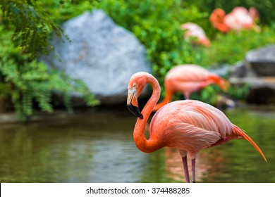 Caribbean Flamingos enjoying a beautiful day in the water.
