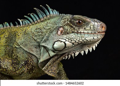 Caribbean green iguana (Iguana iguana ssp.)