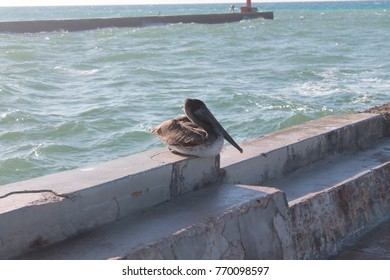 caribbean pelican in ocean