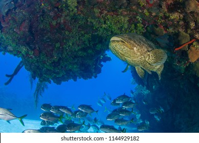 247 Goliath Goliath Grouper Images Royalty Free Stock Photos On