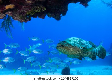 Caribbean reef fish. A goliath grouper can be seen in among a school of horse eyed jacks. The reef creatures are part of the delicate ecosystem that thrives in the underwater habitat