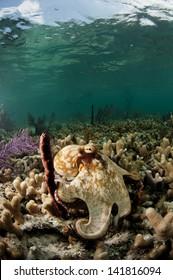 Caribbean reef octopus in the Bahamas