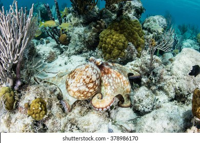A Caribbean reef octopus (Octopus briareus) explores the seafloor of a Caribbean coral reef searching for prey. This cephalopod species feeds on lobster, crabs, and small fish.