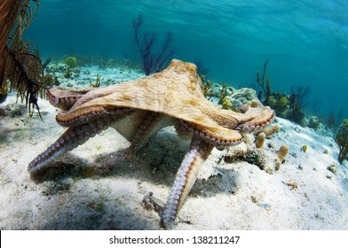 Caribbean reef octopus hunting in the Bahamas