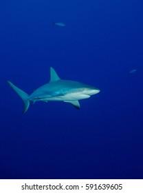 A Caribbean Reef Shark in the Bahamas