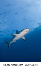 Caribbean reef shark from below in clear blue water with the sun in the background.
