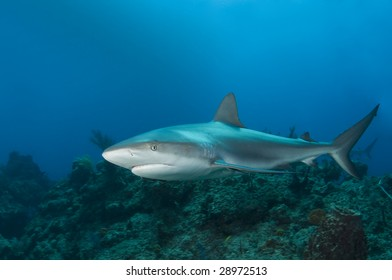 A Caribbean Reef Shark (Carcharhinius perezi) swims along a reef in the clear blue water of the Bahamas