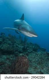 A Caribbean Reef Shark (Carcharhinius perezi) swims over a coral reef in the Bahamas, under the shadow of a boat on the surface