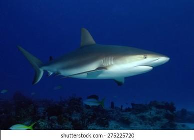 Caribbean Reef Shark (Carcharhinus perezi)