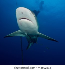 Caribbean reef shark - Carcharhinus perezii  Jardines de la Reina Gardens of the Queen - Cuba