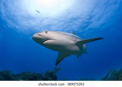 Caribbean reef shark in clear blue water with sun in the background.