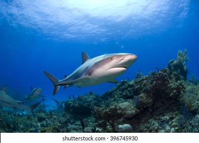 Caribbean reef shark in clear blue water above colorful reef and corals.