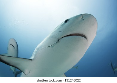 Caribbean reef shark with fishing hook in mouth