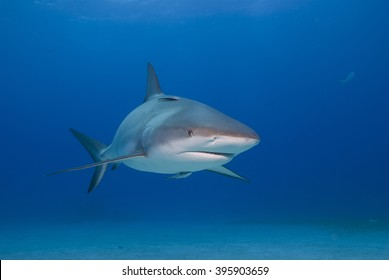Caribbean reef shark from the front in clear blue water.
