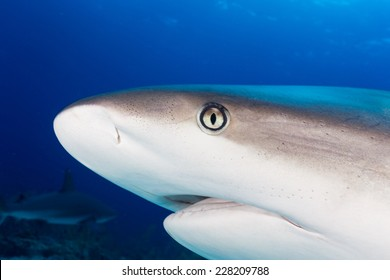 Caribbean reef shark head