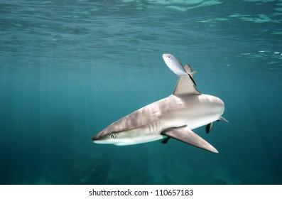 Caribbean reef shark near the surface in the Bahamas