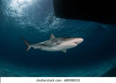 Caribbean Reef Shark on Tiger Beach of Bahamas