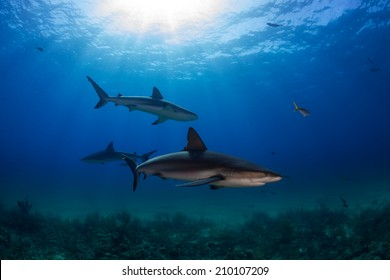 Caribbean reef shark over the reef in Bahamas