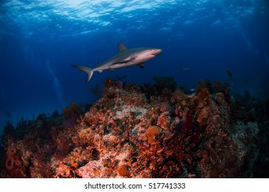 Caribbean Reef Shark over a Coral Reef