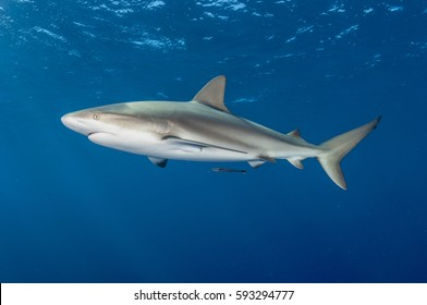 Caribbean Reef Shark portrait on blue background
