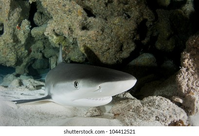 Caribbean reef shark resting on a sandy bottom in a cave
