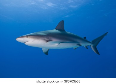 Caribbean reef shark from the side in clear blue water with sun in the background.
