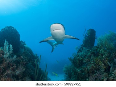 Caribbean Reef Shark swimming between two reefs in Cuba's Gardens of the Queen