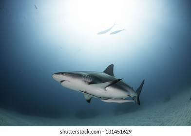 Caribbean reef shark swimming with sun behind