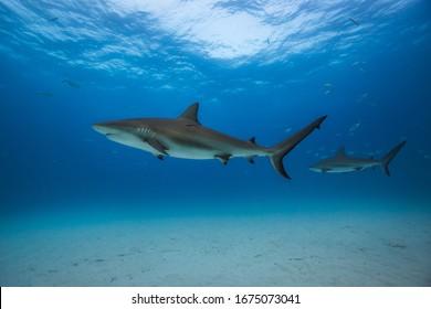 Caribbean reef shark in Tiger Beach, Bahamas.