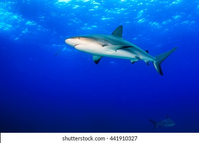 Caribbean Reef Sharks in Blue Water