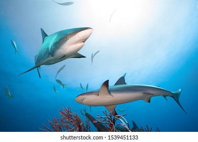 Caribbean reef sharks in clear blue water.