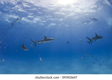 Caribbean reef sharks in clear blue water with the sun in the background.