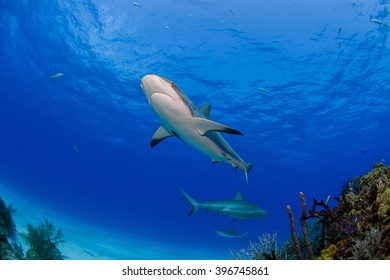 Caribbean reef sharks in clear blue water above colorful reef and corals.