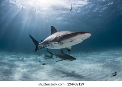 Caribbean Reef Sharks Damaged by Humans