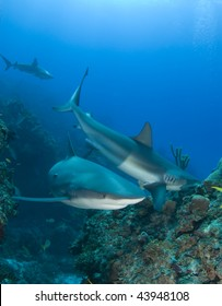 Caribbean Reef Sharks swim and eat fish above the reef at Murials Garden, a dive site located off Grand Bahama.