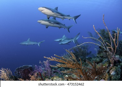 Caribbean reef sharks swimming amongst the tropical reefs of the Gardens Of The Queens Marine Park in Cuba.