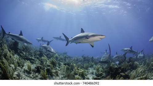Caribbean reef sharks swimming over the coral reef, Gardens of the Queens marine reserve, Cuba.