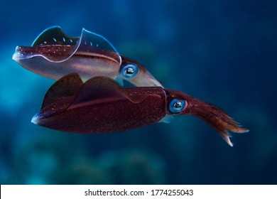 Caribbean Reef Squid cruising along the reef in Bonaire, The Netherlands. Sepioteuthis sepioidea