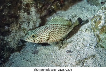 Caribbean Sea, Belize, U.W. photo, small tropical spotted grouper -