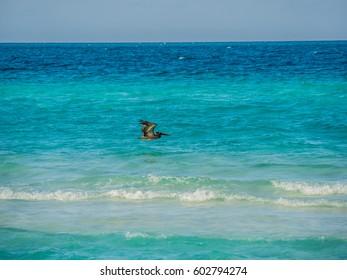 Caribbean Sea bird