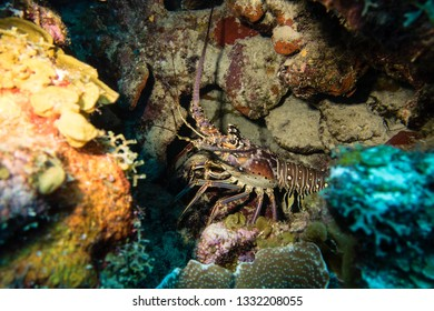 A caribbean spiny lobster hiding in a cave during a nightdive on tropical Bonaire island