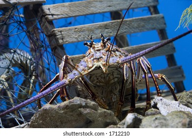 Caribbean Spiny Lobster  also knowen as the Florida Spiny Lobster (Panulirus argus) inhabits tropical and subtropical waters of the Atlantic Ocean, Caribbean Sea, and Gulf of Mexico.