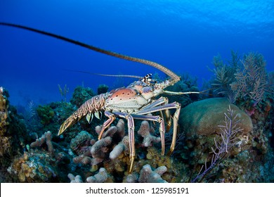 The Caribbean Spiny lobster (Panulirus argus) inhabits tropical and subtropical waters of the Atlantic Ocean, Caribbean Sea, and Gulf of Mexico.  It is normally a nocturnal species.