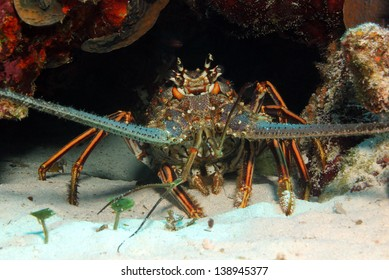 Caribbean Spiny Lobster (Panulirus Argus), Cozumel, Mexico