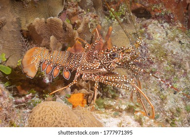 Caribbean spiny lobster (Panulirus argus) Cozumel, Mexico