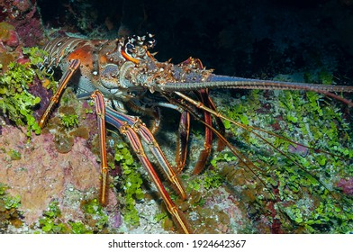 Caribbean spiny lobster (Panulirus argus) Roatan, Honduras