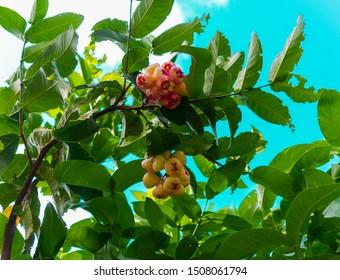 Caribbean wax apple in St Lucia