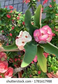 Caribbean white and pink flowers, Aruba