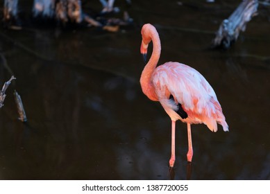 Caribean (American) flamingo in the lagoons of Puerto Villamil of Isabela Island, Galapagos.